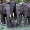 Minneriya National Park - protecting the elephant cub