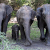 Minneriya National Park - elephants with 2 week old cub