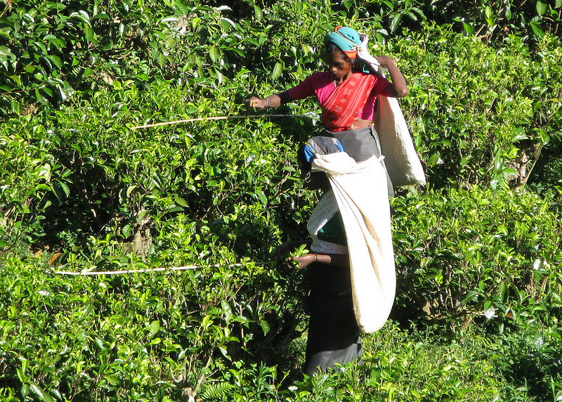 Keeping the tea plants level