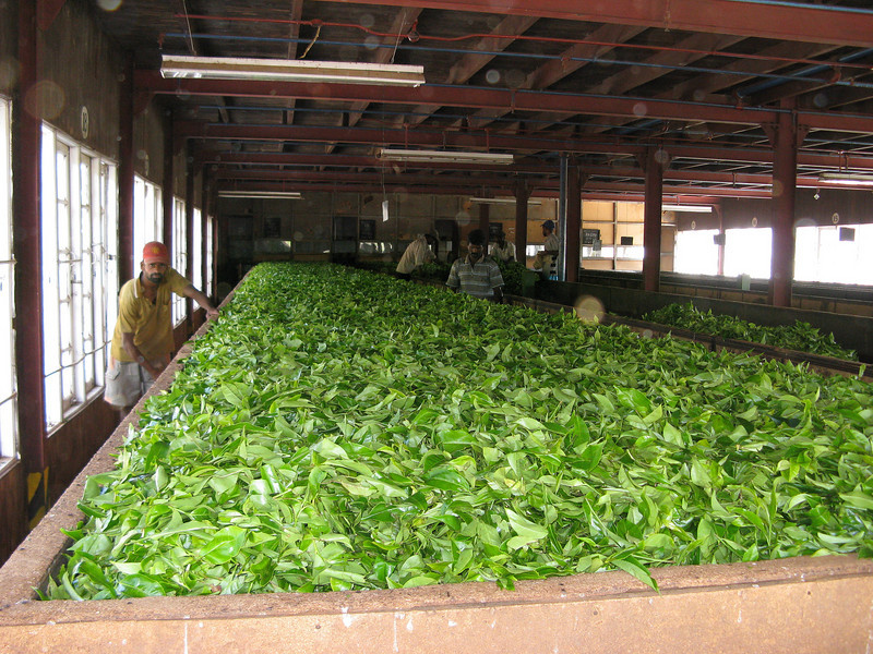 Drying tea leaves - Norwood Tea Factory
