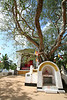 This bodhi tree is said to be over 800 years old.