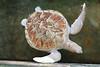 An albino sea turtle!