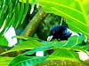 Asian Koel, Negombo