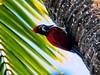 Black-rumped Flameback, Negombo