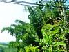 Giant bamboo, en route Glenloch tea factory - Kandy
