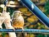 Yellow-billed Babbler, Negombo