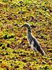 Indian Pond Heron, en route Negombo - Kaduwela