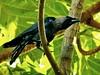 House Crow, Negombo