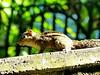 Common palm squirrel, Negombo