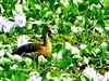 Lesser Whistling Duck, en route Negombo - Kaduwela