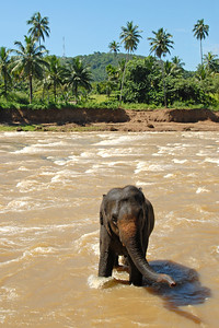 Baby elephants having fun at the bathing point Pinnawala Elephant Orphanage. The orphanage is also a nursery and captive breeding ground for wild Asian elephants in Sri Lanka.