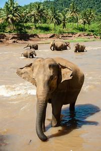 Elephants having fun at the bathing point Pinnawala Elephant Orphanage. The orphanage is also a nursery and captive breeding ground for wild Asian elephants in Sri Lanka.