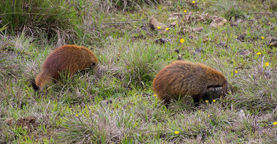 We saw two Mongoose at Horton Plains National Park in the highlands.  Our driver said that it was the first time he had seen Mongoose at Horton Plains.  They have their heads down digging around for grubs in the soft earth.