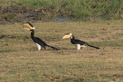 These Malabar pied hornbills seemed to be playing a game tossing chunks of water buffalo dung back and forth.