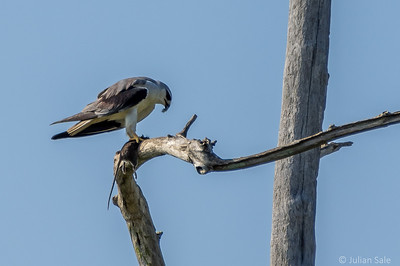 White-bellied sea eagle with prey.