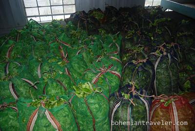 raw tea at Danbatenne Tea Factory in Sril Lanka