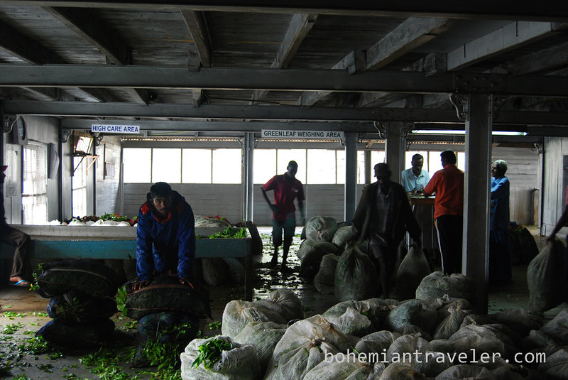 arriving with raw tea at Danbatenne Tea Factory