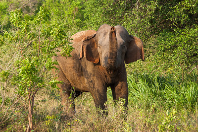 Male elephant smelling us