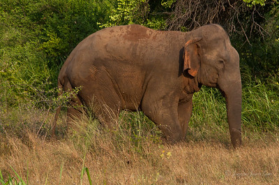 Mud acts as sunscreen for the elephants