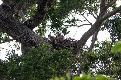 Baby eagle at Hurulu Eco Park