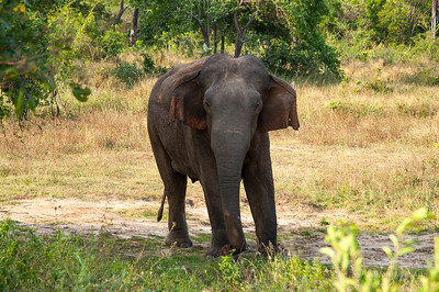 Male elephant looking at us