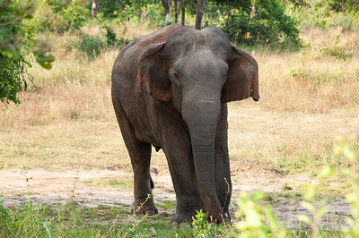 Male elephants spend majority of their time alone or in a same-sex group