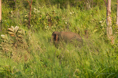 Small male elephant in the bush