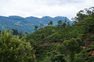 Tea plantation scenery along the train ride to Ella