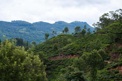 Tea plantation scenery along the train ride to Ella