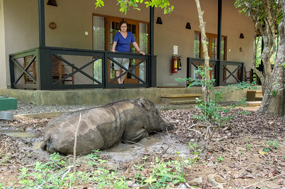 "We stayed at Cinnamon Wild resort which was about 2km from Yala national park.  When they say ""wild"", they mean ""wild"".  This wild boar was lazing in the mud just outside our cabin.  At night we were required to have a staff escort to the main restaurant and pool area - in case of elephants or crocodiles passing through."