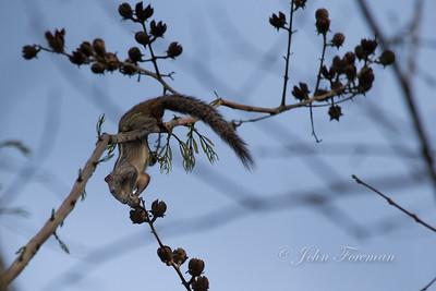 Palm Squirrel, Hikkaduwa