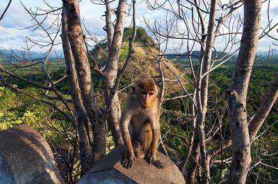 Monkey near Dambulla Cave Temple