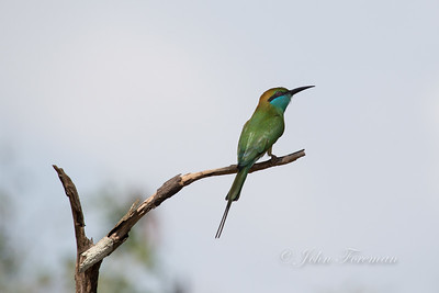 Green Beeeater, Wilpattu