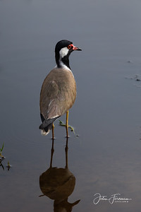 Red-wattled Plover, Wilpattuu