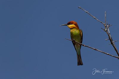 Chestnut-headed Bee-eater, Wilpattu