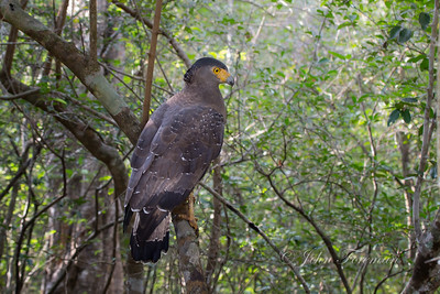 Serpent Eagle, Wilpattu