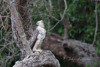 Crested Hawk Eagle, Wilpattu