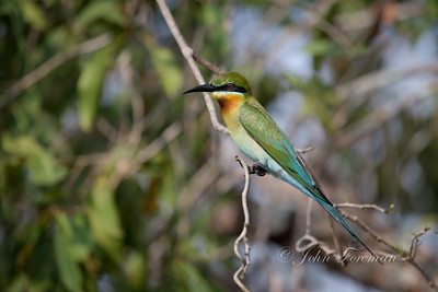 Blue-tailed Bee-eater, Wilpattu