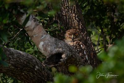 Brown Fish Owl, Wilpattu