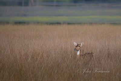 Spotted deer, Wilpattu