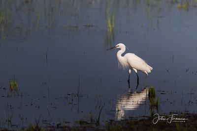 Little Egret, Wilpattu