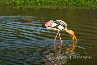 Painted Stork, Sri Lanka