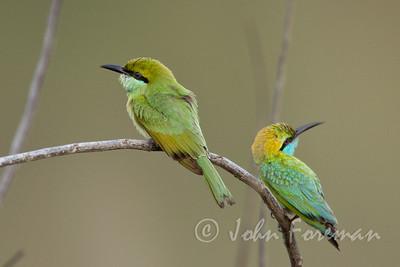 Green Bee Eaters, Yala