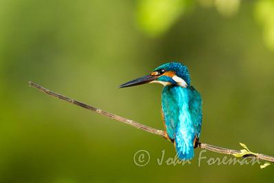 Common Kingfisher, Yala