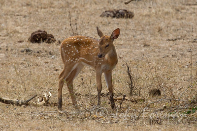 Spotted Deer, Yala