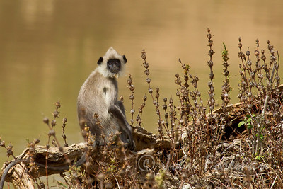 Gray Langur, Yala