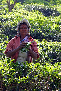 Picking Tea - Ella