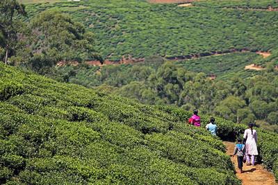 Tea Plantations, Nuera Elia
