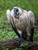 Beautiful Cape Griffon Vulture