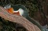 Prevost's squirrel - It's a pretty colorful squirrel
